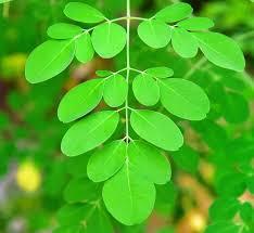 Moringa Plant virtues